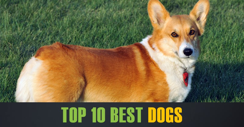 Top 10 Best Dogs